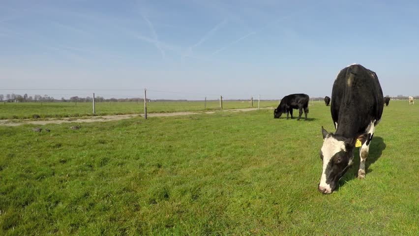 Spring cows just outside again animals eating blue sky background beautiful weather enjoying the spring time and the fresh green grass and amazing blue sky mix species Holstein and Aberdeen Angus 4k