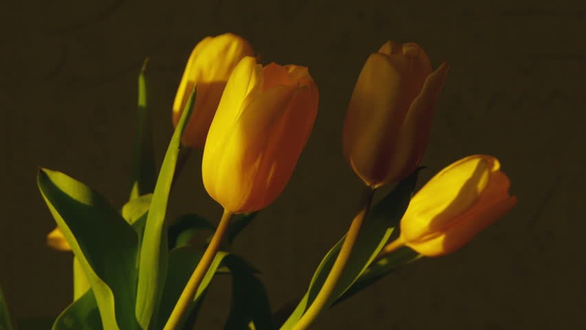 Yellow Tulips Fade In Bright Stock Footage Video 100 Royalty Free