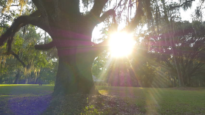 CLOSE UP: Sunbeams shining through big majestic live oak with romantic spanish moss on branches in amazing nature park in Southern America