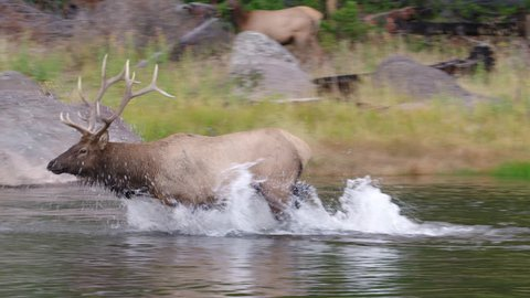 Large bull elk running through a river with water splashing and female elks on shore.  Yellowstone National Park, Wyoming and Montana, USA. 4K.
