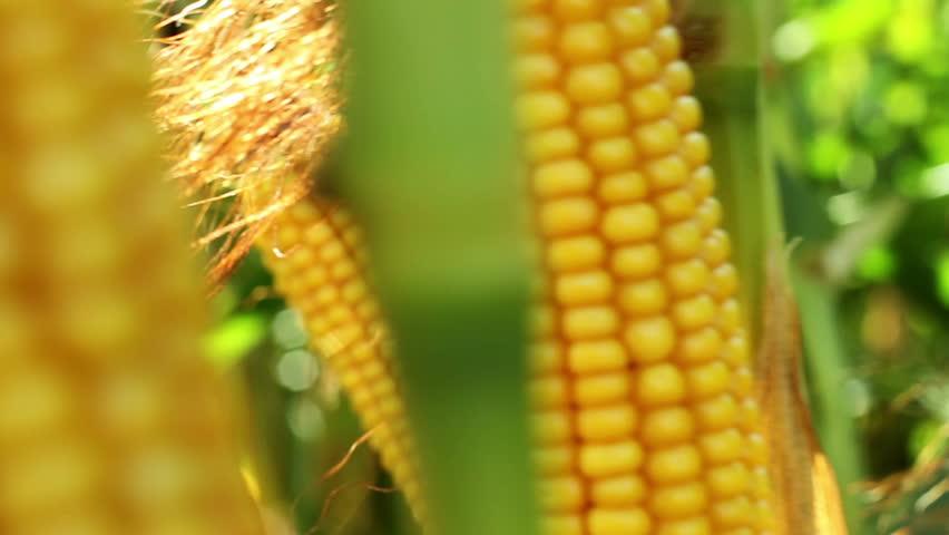 Spadices of sweet corn | Shutterstock HD Video #15544351