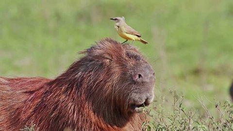Capybara with Bird (Cattle tyrant)