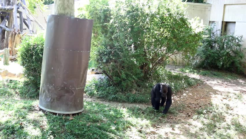 USA, WASHINGTON - AUG 28, 2014: Big black gorilla walks in green open air cage in Smithsonian National Zoo. | Shutterstock HD Video #15664834
