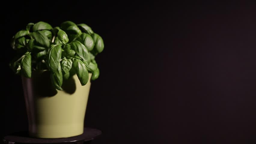 Basil in Pot slider | Shutterstock HD Video #15675691