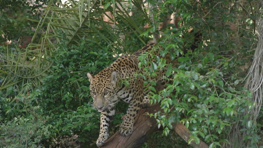 jaguar brazil onça nature predator RED cinema camera