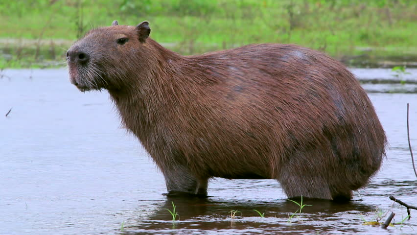 Locked off shot of a capybara standing in water
