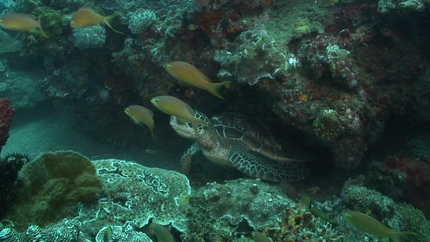 Green Turtle | Shutterstock HD Video #1575658