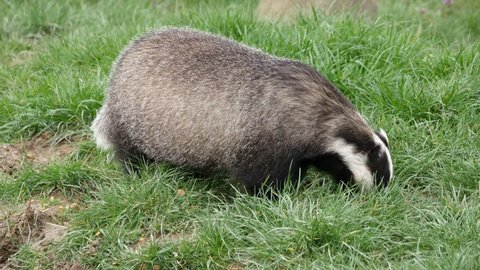 Badger foraging in the grass during daylight