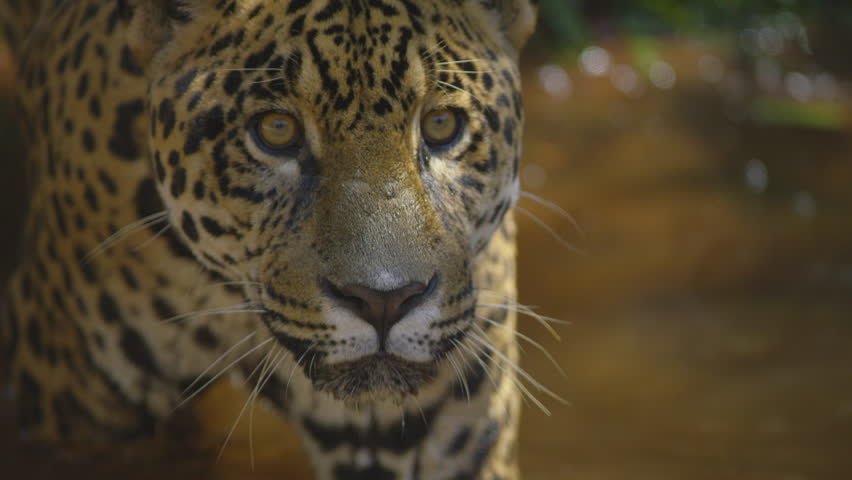 Jaguar, onça, awesome take in forest, brazil, south america shot with RED cinema camera