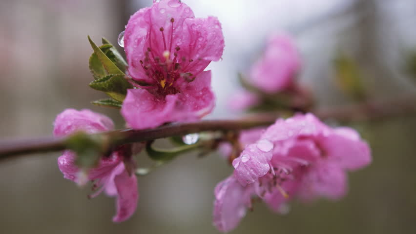 Water falling on flower. Water drops hitting pink cherry blossom. Superb close up panoramic view against blooming pink cherry branch trembling on the wind. Soft toned nature scene of Japanese Sakura. #16015987