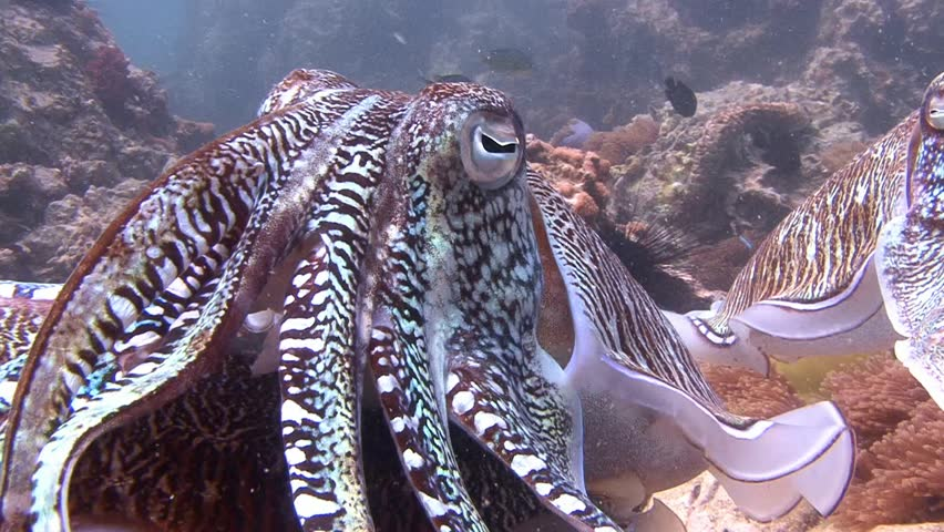 Diving in the Andaman sea near Thailand. Gentle and temperamental mating dance of Pharaoh cuttlefish.