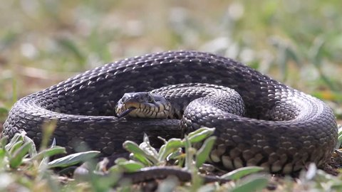 snake in the grass showing tongue/snake in the grass showing tongue,grass snake, the danger, the security