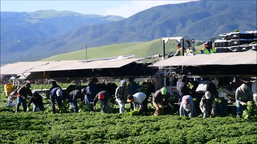 Salinas, California, USA - April 19, 2016: Seasonal agricultural field workers cut and package lettuce, directly in the fields, ready for shipping, in the Salinas Valley of central California.