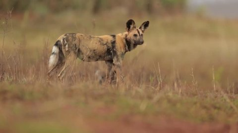 African Wild Dog, Lycaon pictus in close distance, female looking after puppies in dry savanna. Low angle photography. Typical african reddish soil. Blurred background. KwaZulu Natal, South Africa.