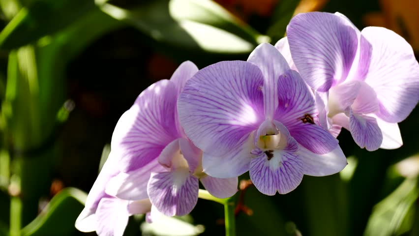Streaked Orchid Flowers Beautiful Royalty Stock Photo