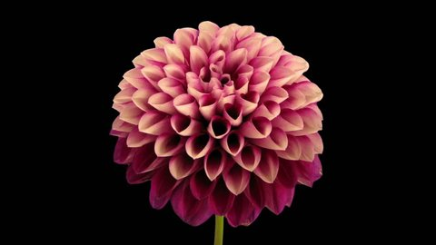 Time-lapse of opening and dying red dahlia flower 9e3 in RGB + ALPHA matte format isolated on black background