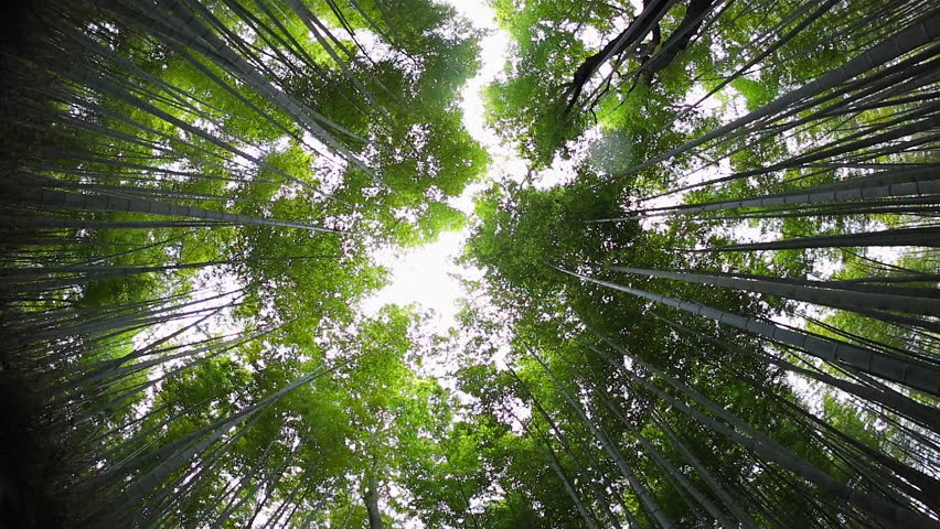 bamboo forest sagano ukyo ward arashiyama kyoto kansai region honshu - Bamboo Canopy 2015