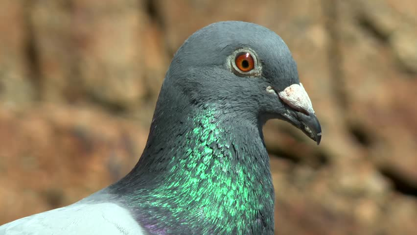 Portrait of a carrier pigeon, close-up.