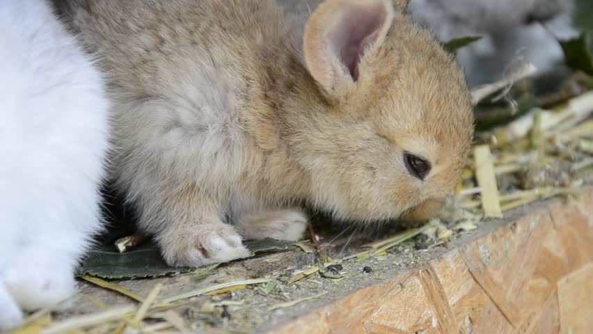 Many young bunnies in a shed. A group of small rabbits feed in barn yard. Easter symbol | Shutterstock HD Video #16411978