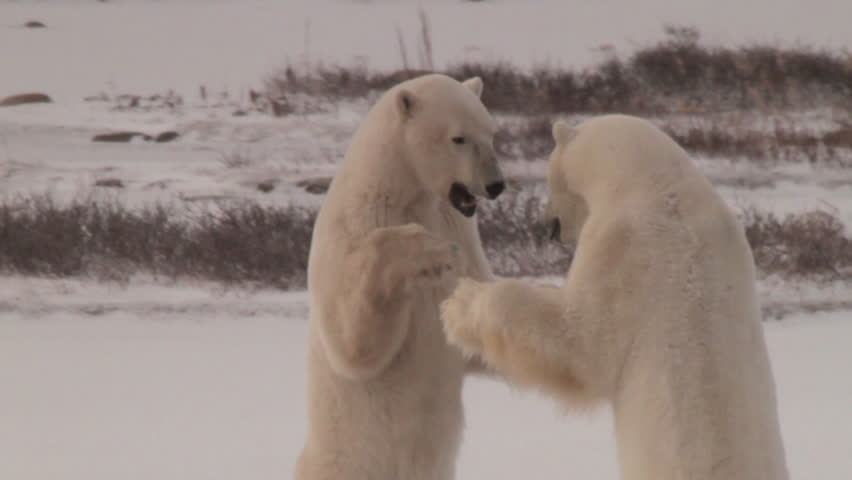 Slow motion of two polar bears sparring in pink morning light and snow. Standing and fighting and pushing,