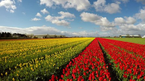 Blue sky and tulip field. Beautiful outdoor scenery in Netherlands. Red and Yellow tulip field. Dutch bulb field of colorful tulips. Colorful spring panorama of tulip farm.