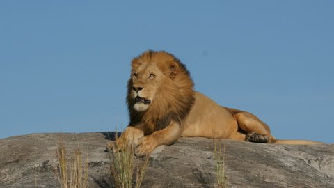 Big lion lying on a rock in Serengeti national park Tanzania Africa
