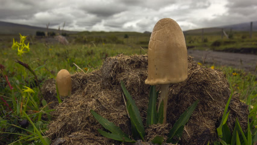 Time-lapse of clouds moving over a large hallucinogenic mushroom (Psilocybe sp.) growing on horse dung on the paramo near Cotopaxi Volcano, Ecuador   Shutterstock HD Video #16558969