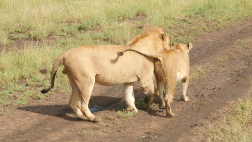 Male And Female Lions Mating In The Wild Stock Footage -1633