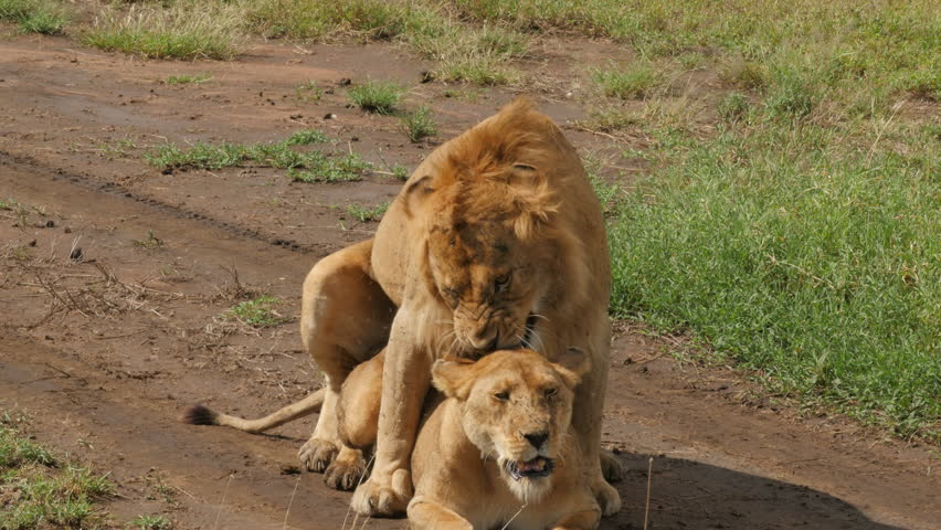 Male and Female Lions Mating Stock Footage Video (100% Royalty-free)  16572598 | Shutterstock