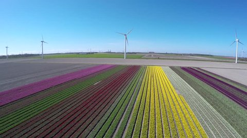 Aerial flying backwards over colorful tulip fields pink green yellow and white colors also showing wind turbines providing renewable energy to homes beautiful polder landscape during springtime 4k