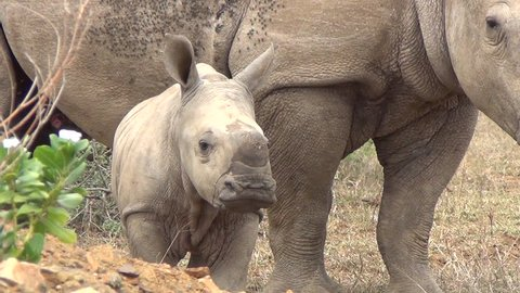 Close up white baby rhino standing next to its mother.