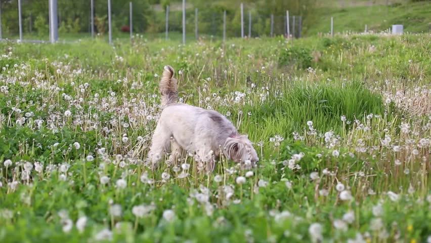 Dog playing in dandelion field | Shutterstock HD Video #16634110