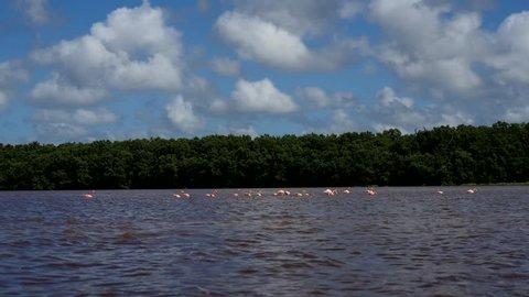 pink flamingos in the salt lagoons, celestun, mexico