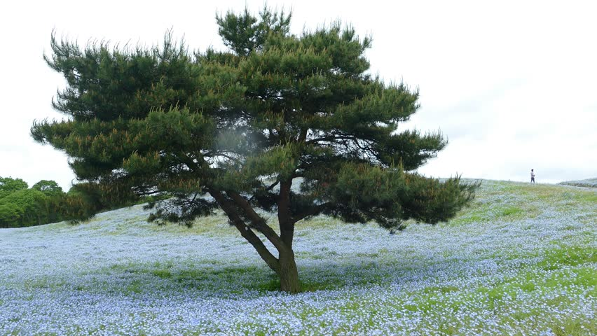 Imageing of Mountain, Tree and Nemophila at Hitachi Seaside Park in spring with blue sky at Ibaraki, Japan | Shutterstock HD Video #16676578