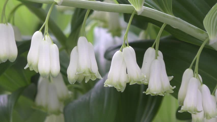 White Flowers Bells Solomon S Seal In Spring Morning