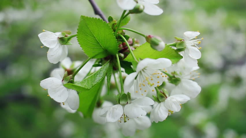 White Flowers On Blossoming Cherry Tree In Spring Bunch Of And Green Leaves