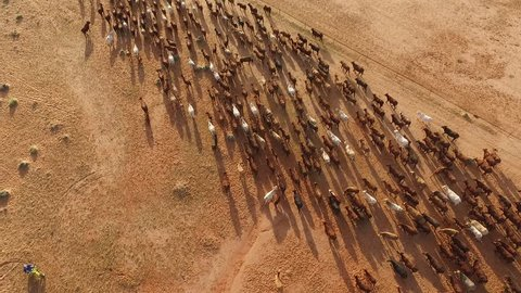aerial cattle muster, aerial view in outback Australia, more than 500 cattle