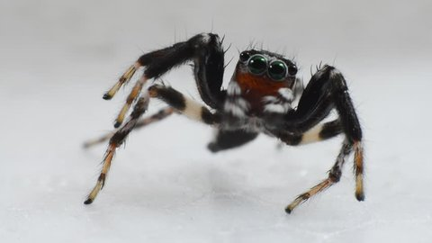 Dance of the Jumping spider