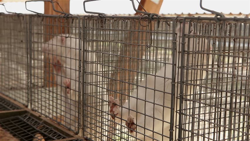 animal farm, mink - HD stock footage clip