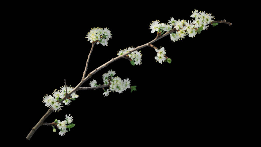 Time-lapse of blooming plum tree branch with opening leaves buds and flowers with alpha transparency channel , isolated with black and white luminance matte, perfect for film, digital composition