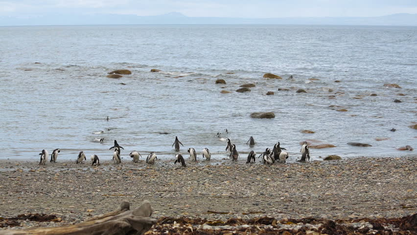 A group of Magellanic penguin on the beach at Otway Sound Penguin Colony