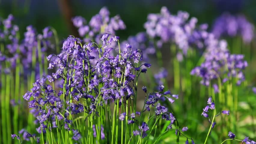 Wild Forest Meadow At Spring Bluebell Flowers Waving In Breeze Hd Stock Video Clip
