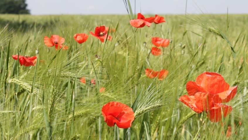 poppies growing in a cornfield in brandenburg germany hd stock video clip - Winter Rye