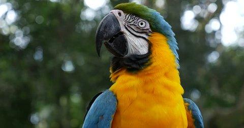 Blue Yellow Macaw (Also Know as Arara or Ararauna) in Brazil