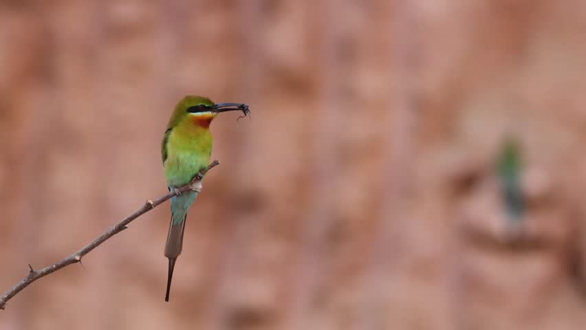 Blue tailed bee Eater male With food Hd footage | Shutterstock HD Video #17222848