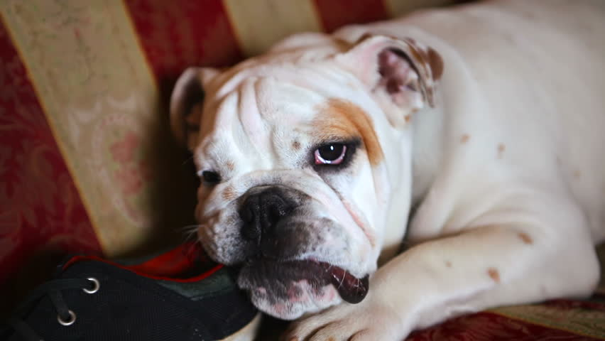 Cute Dog Acting Lazy In Front Of The Camera This American Bulldog - Dog shoes for hardwood floors