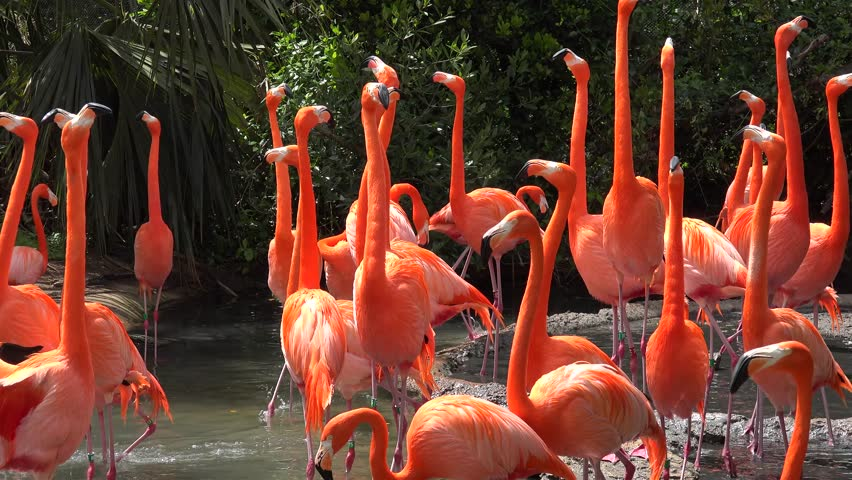 Caribbean flamingo (Phoenicopterus Ruber) at breeding season. Bermoda zoo.