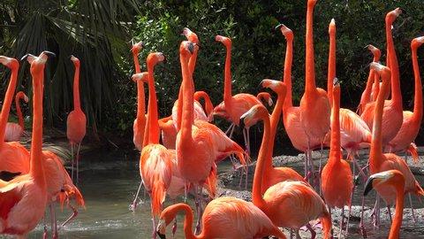 Caribbean flamingo (Phoenicopterus Ruber) at breeding season. Bermoda zoo.