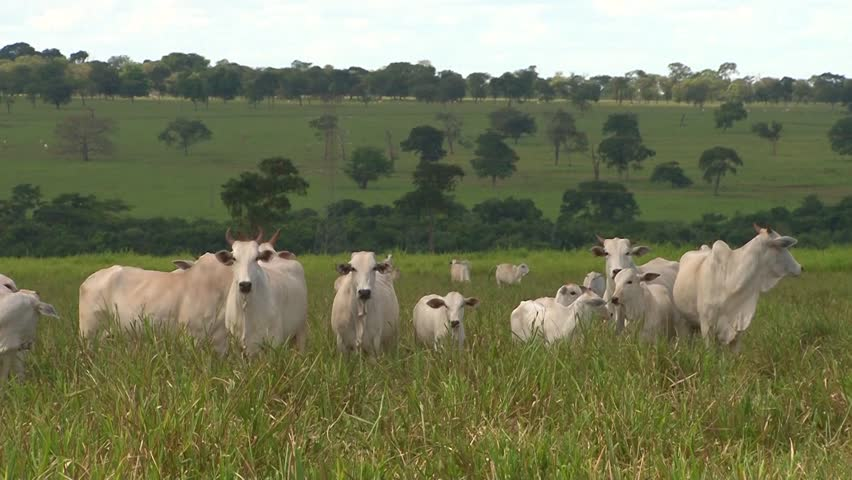 """Nelore cattle in Brazil - calves and cows faces the camera with curiosity, """"cerrado"""" vegetation behind"""