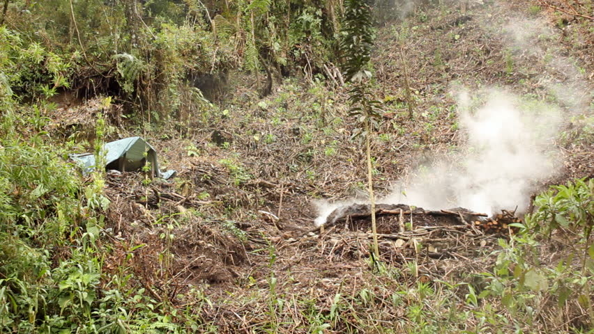 Rainforest clearing made for slash and burn agriculture with young maize plants and pile of wood burning to produce charcoal